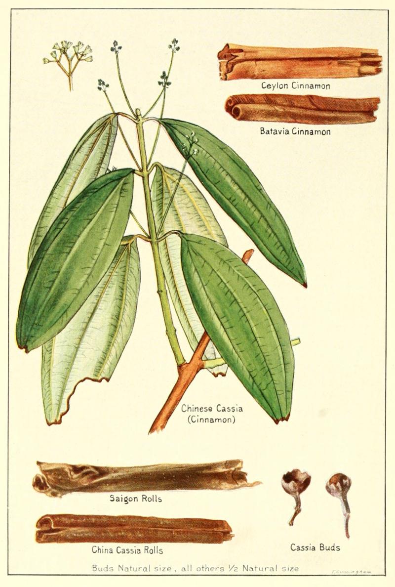 Cinnamon-cassia-5