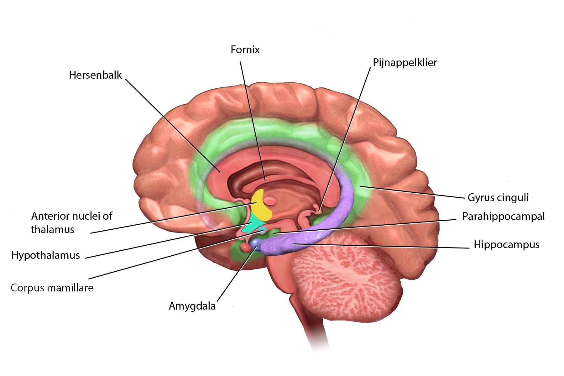 hersenen-lymbisch-systeem-5