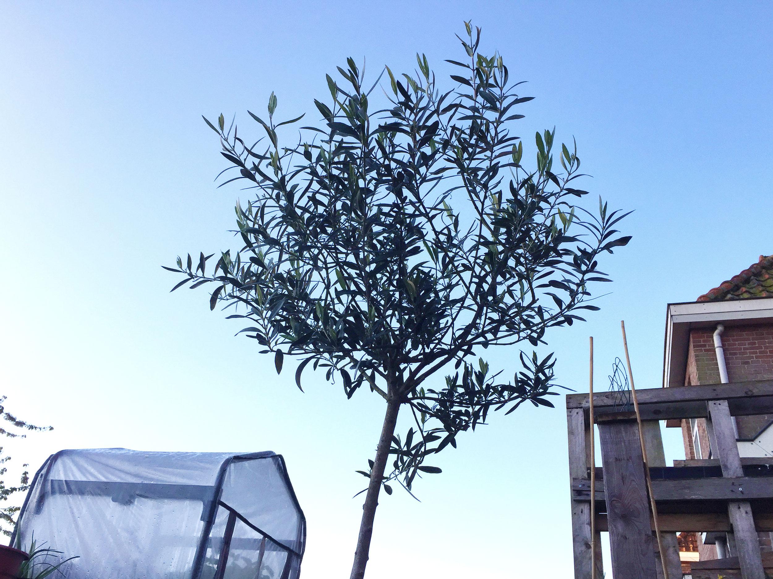 Het wonderbaarlijke leven van een olijfboom